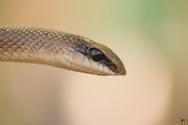 Serpente Becco