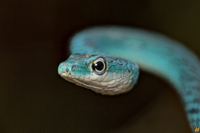Spotted Bush Snake BLU